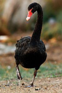 Black_swan2